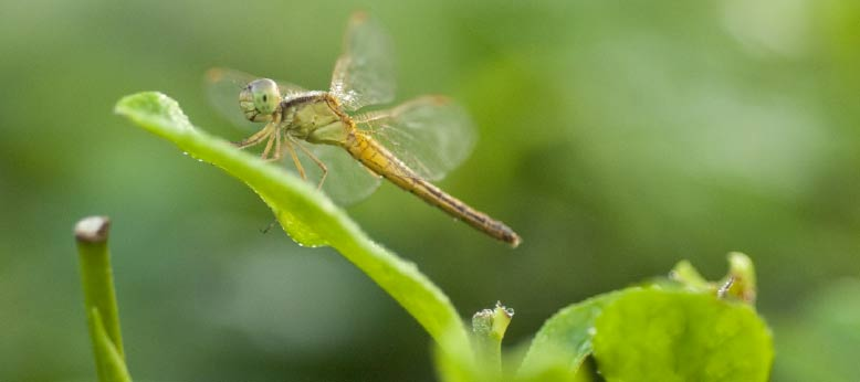 Close up photo of dragon fly on a tea leaf.