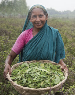 Indian woman holding a basket of freshly plucked tea leaves.